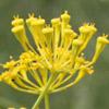 Heptaptera anisoptera
