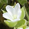Cerastium dichotomum