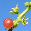 Salvadora persica