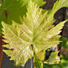 גפן היין