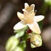 סגינה  זעירה