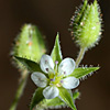 Arenaria leptoclados