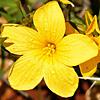 Linum mucronatum
