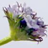 Valerianella dactylophylla
