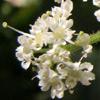 Heracleum humile