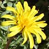 Taraxacum syriacum