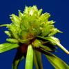 Cyperus pygmaeus