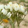 Allium negevense