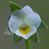 Viola occulata