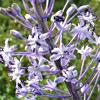 Scilla hyacinthoides