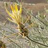 Centaurea scoparia