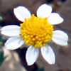 Anthemis hebronica