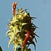 Trifolium scutatum