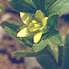 Ranunculus pinardii