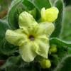 Alkanna galilaea