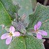 Matthiola parviflora