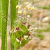 Plantago bellardii