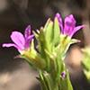 Lythrum netofa