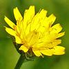 Picris galileae