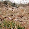 Stipa parviflora