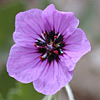 Erodium arborescens