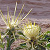 Centaurea sinaica