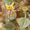 Cleome droserifolia