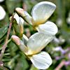 Vicia galeata