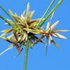 Pycerus flavescens