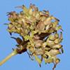 Pulicaria  auranitica