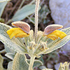 Phlomis brevilabris