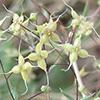 Galium chaetopodum