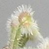 Galium hierochuntinum