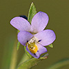 Viola pentadactyla