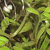 Callitriche brutia
