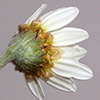 Anthemis hyalina
