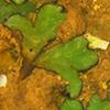 Riccia trabutiana