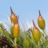 Grimmia laevigata