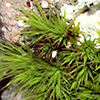 Bartramia  stricta