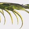 Cinclidotus  aquaticus