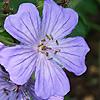 Geranium libani
