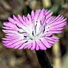 Dianthus strictus