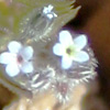 Myosotis refracta