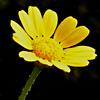 Chrysanthemum viscosum