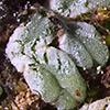 Riccia  crustata