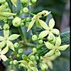 Rubia tenuifolia