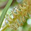 Salix acmophylla