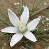 Ornithogalum trichophyllum