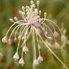 Allium daninianum