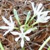 חבצלת   בת-חבצלת קטנת-פרחים